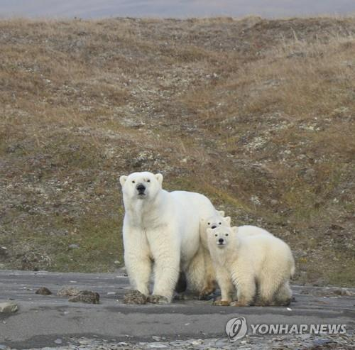 북극해 랭겔 섬의 북극곰들[AP=연합뉴스 자료사진]